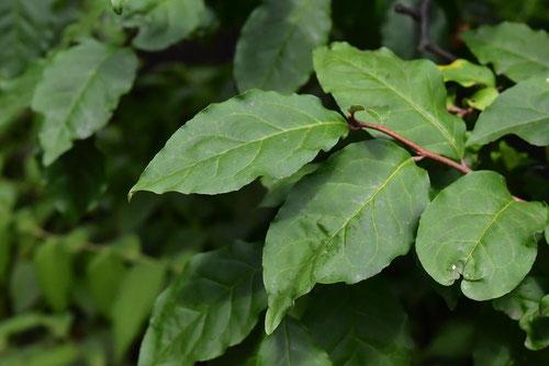 ビックリグミ 葉っぱ