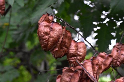 モクゲンジの実 種子