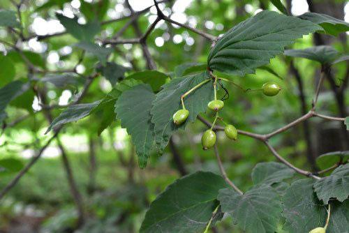 オトコヨウゾメ 樹木