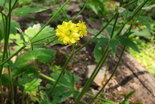 金鳳花,花言葉