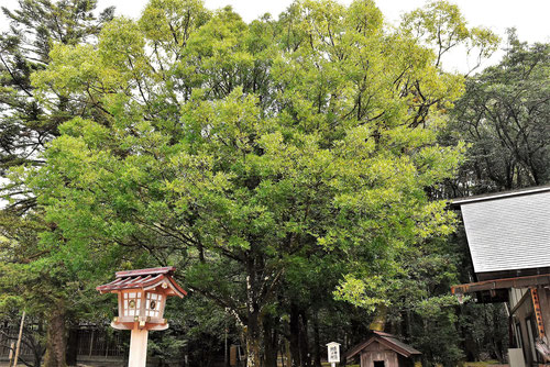 ナギという木,なぎ