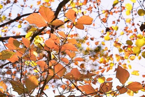 ミツバツツジの紅葉