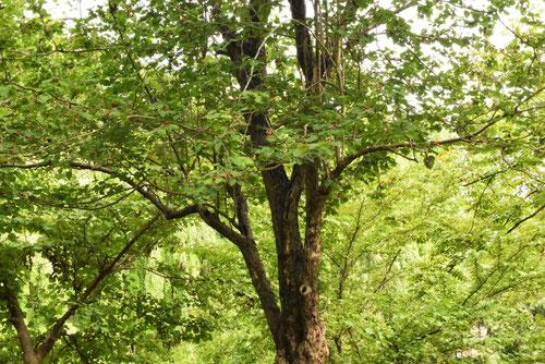 Hawthorn,tree