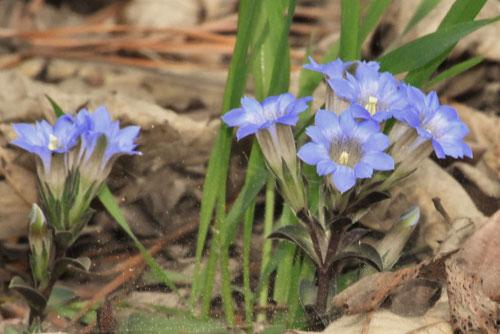 ひめりんどうの花