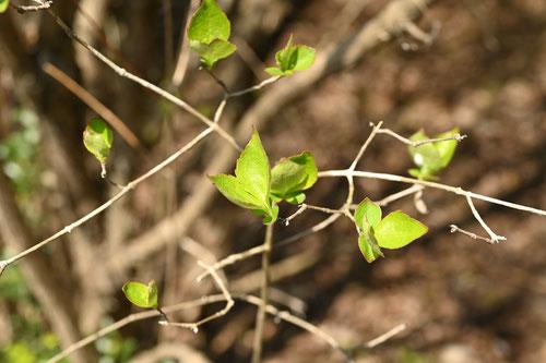 ツクバネウツギ,葉