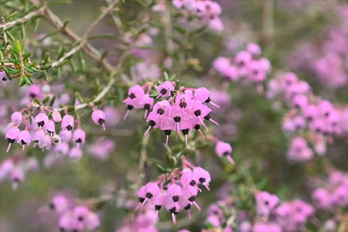 エリカ,草花,植物