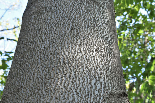 Japanese beech,picture