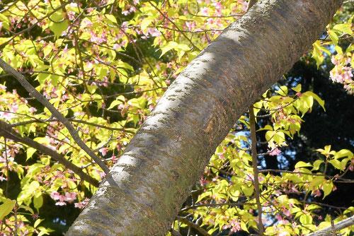 河津桜,樹皮