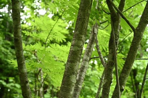 Japanese rowan,stem