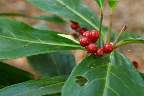 カラタチバナ,赤い実