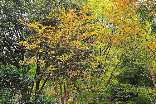 ナツツバキ 黄葉