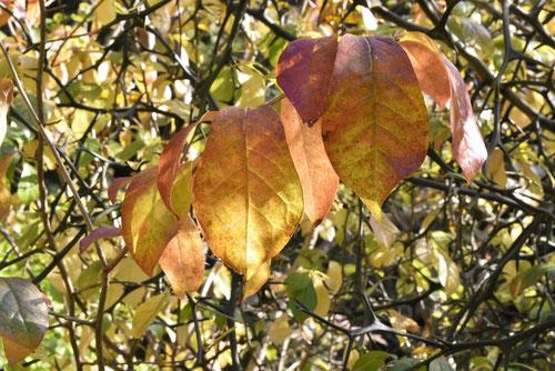 黄葉は特徴的であり、次第に色が抜けて・・・