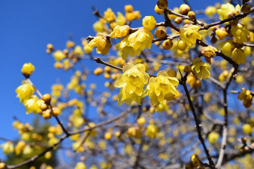 flowers of winter sweet