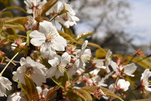 山桜 花 画像