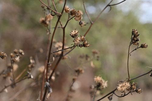 白山菊,種子