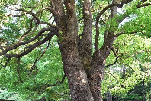 となりのトトロの木 何