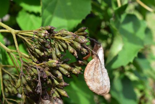イワガラミ 種子