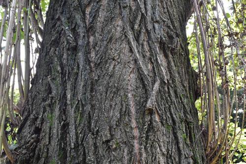 ポプラの樹皮 画像