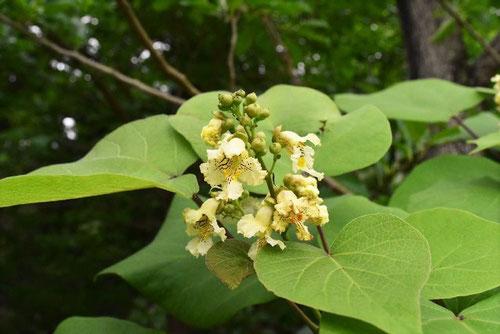 きささげ,木の花