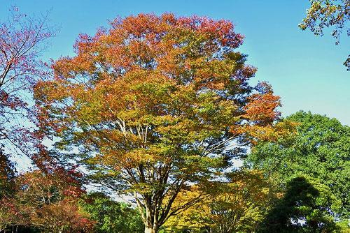 欅の紅葉,けやき,画像