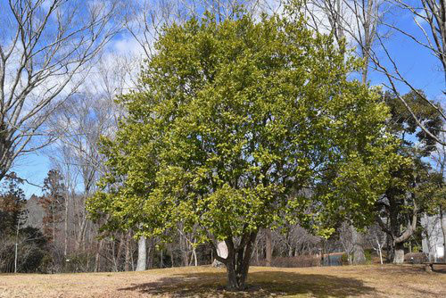 からたねおがたまの木 樹木図鑑