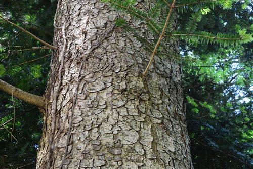 モミ 樹木 画像