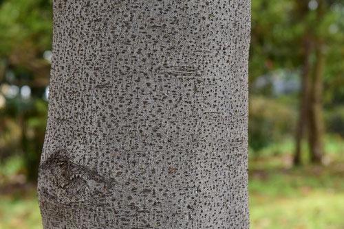 月桂樹 幹 画像