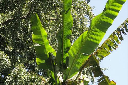 芭蕉の葉っぱ