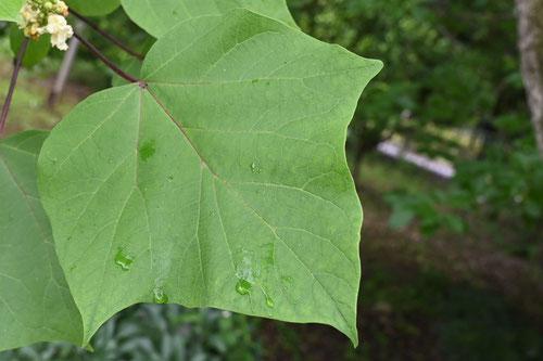 木大角豆,葉