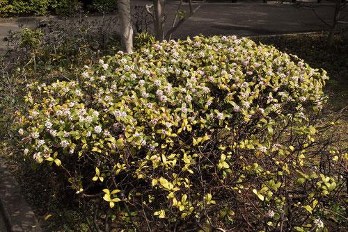 沈丁花,じんちょうげ,樹形