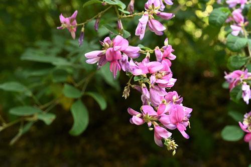 宮城野ハギの木の花