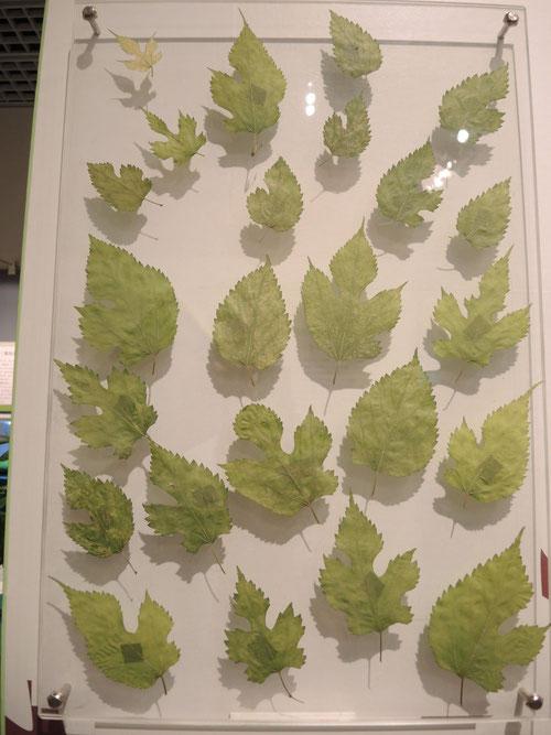 桑の葉の形
