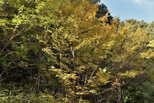 シロモジの木,紅葉,しろもじ