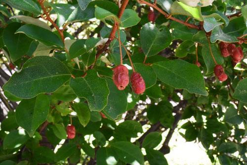 ビックリ茱萸の木,果実