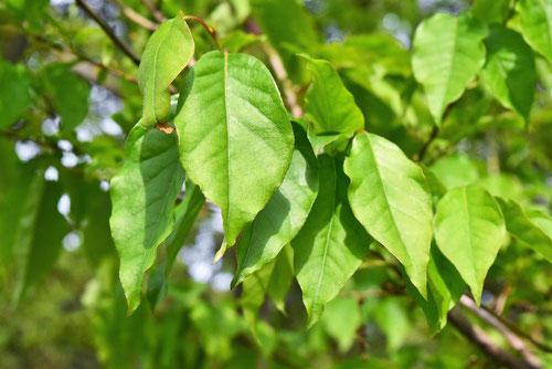 ネジキの葉っぱ 樹木図鑑