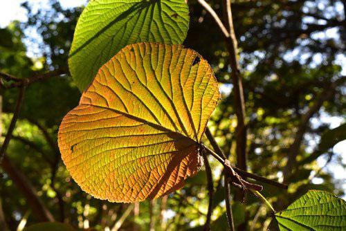 ムシカリ 黄葉 紅葉