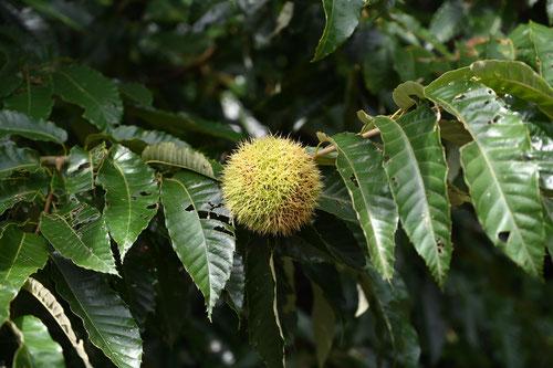 栗の葉っぱ 特徴