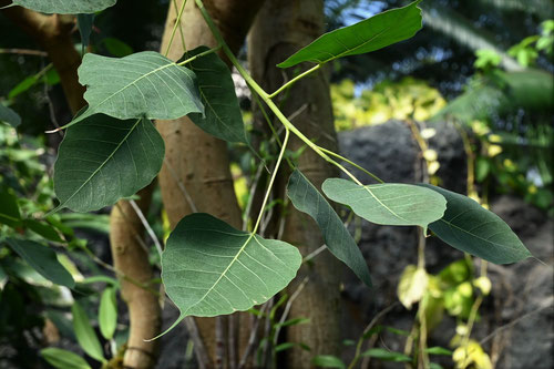 菩提樹の木,釈迦