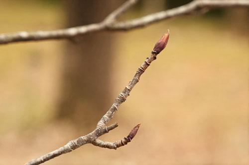 ナナカマドの冬芽,ななかまど