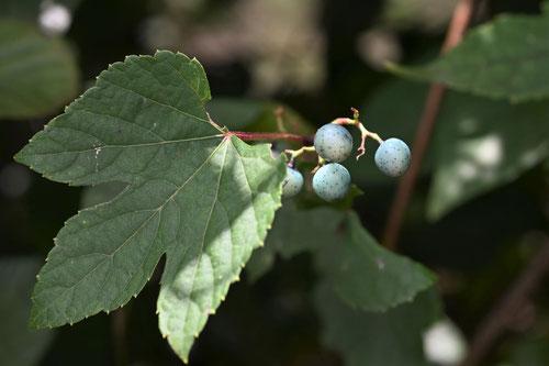 野ブドウの葉っぱ,特徴