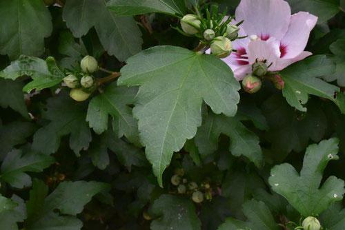 槿の花 葉っぱ