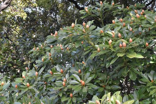 椨の木,冬芽