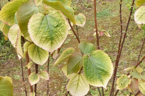 オオバアカメガシワの木,葉,おおばあかめ