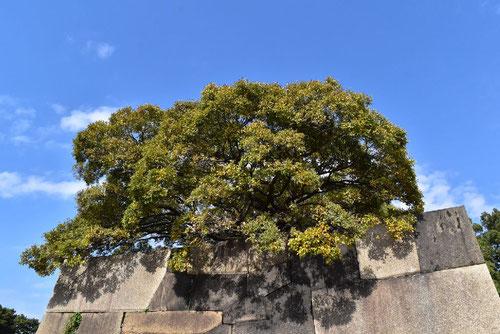 エノキの木,樹木