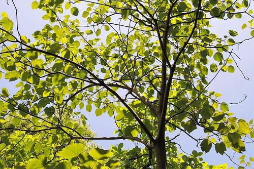 油桐,樹木