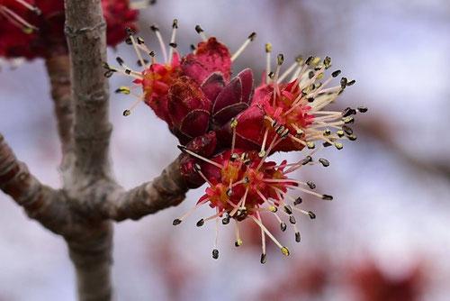 ハナノキの花 画像
