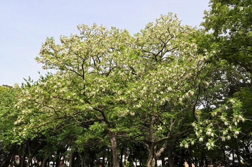 アカシアの木,花