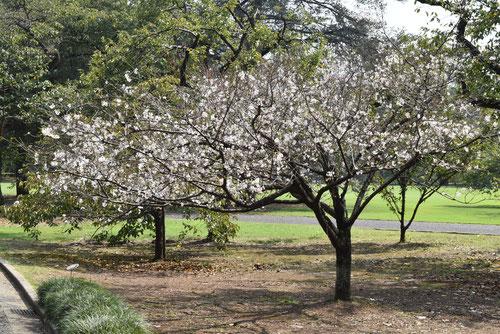 十月桜,樹形