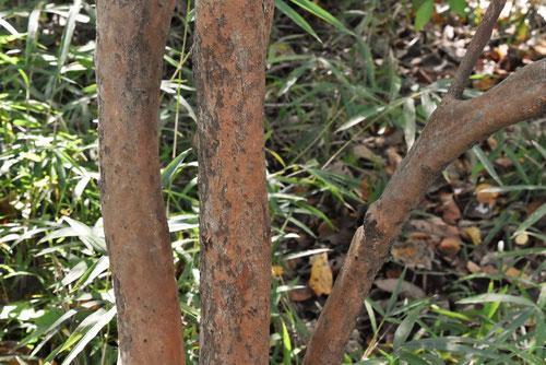 あまぎつつじの木
