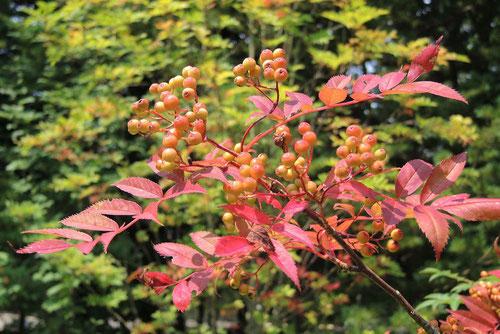ナナカマドの赤い実 庭木図鑑